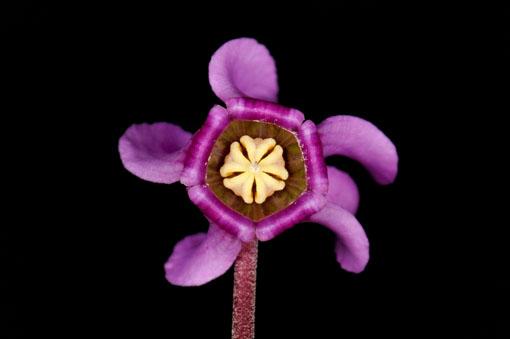 Cyclamen purprascens