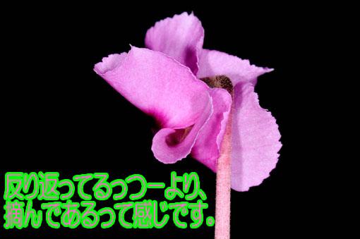 もちもち~っとした花弁(?_?)