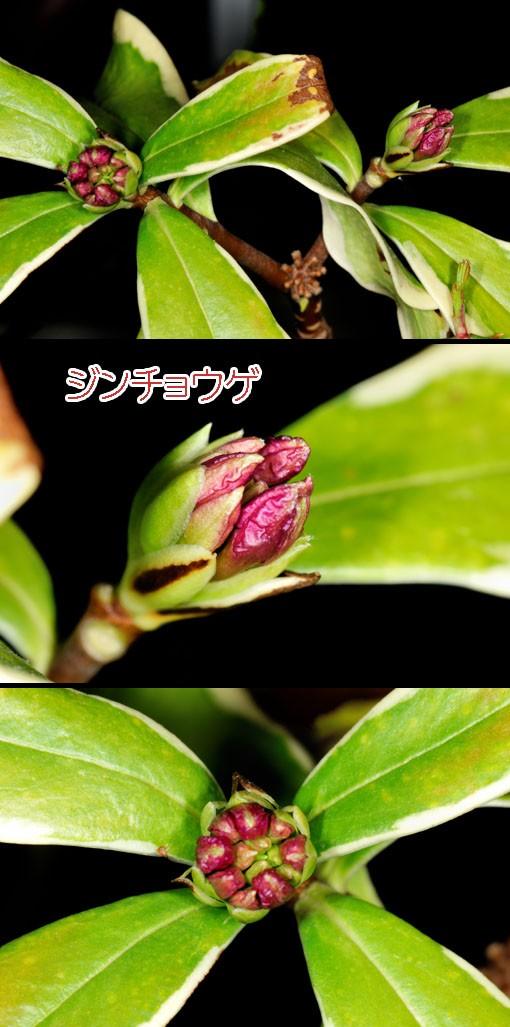 ジンチョウゲ(沈丁花)