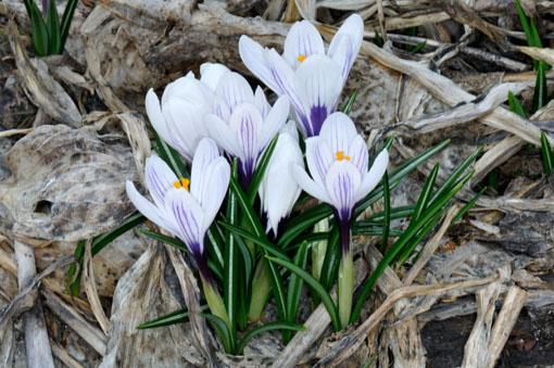 纏まって咲くんは分球体質ゆえでしょー。タブン