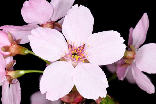 Prunus ' Youkou '