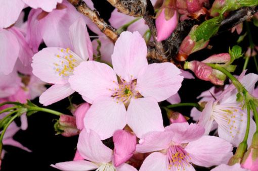 桜の花型です。
