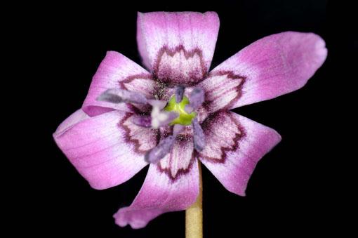 Erythronium japonicum