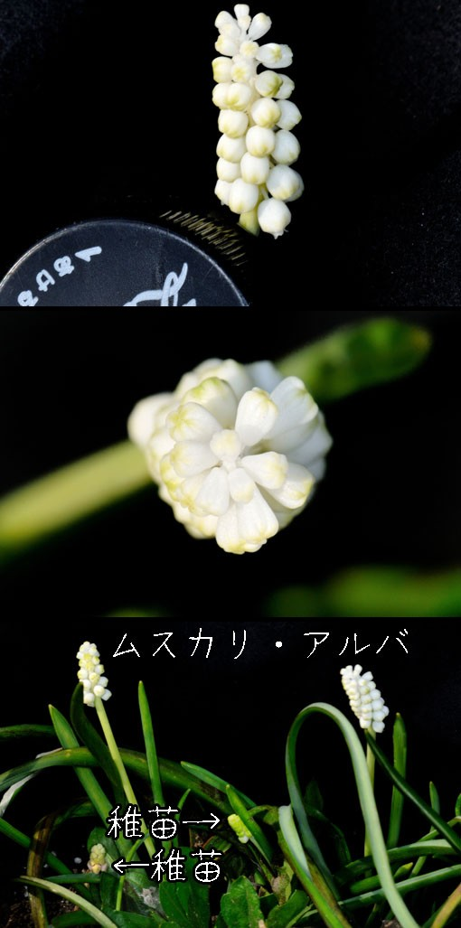 Muscari botryoides ' Album '