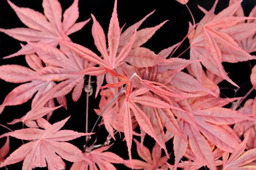 Acer amoenum ' Fire Grow '