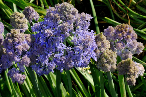 Muscari armeniacum ' Fantasy Creation '