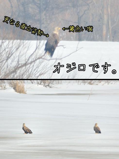 オジロワシ(尾白鷲)