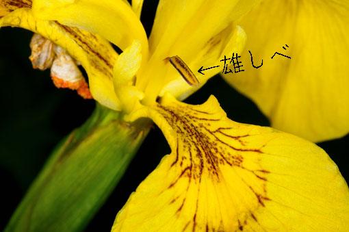 サフランライスさながらの黄色です。