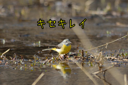 キセキレイ(黄鶺鴒)
