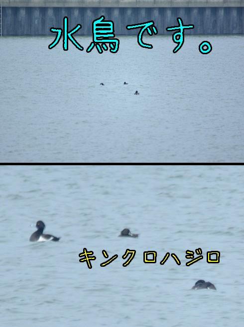 キンクロハジロ(金黒羽白)