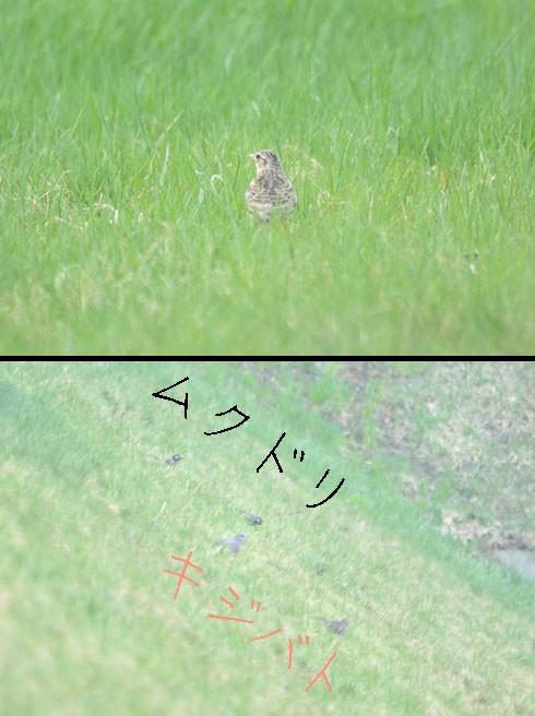 ヒバリ(雲雀),ムクドリ(椋鳥),キジバト(雉鳩)