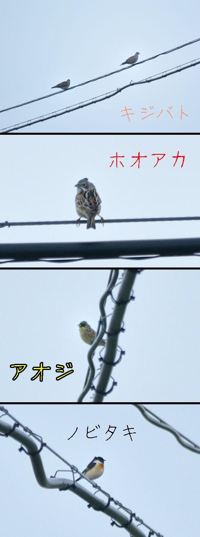 キジバト(雉鳩)、ホオアカ(頬赤)、アオジ(青鷀)、ノビタキ(野鶲)