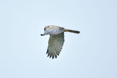 翼下面は白っぽい印象です。