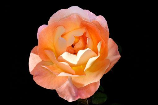 Rosa ' Lady Emma Hamilton '