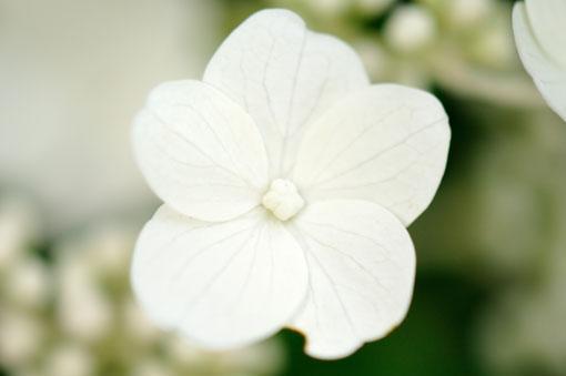 装飾花です。
