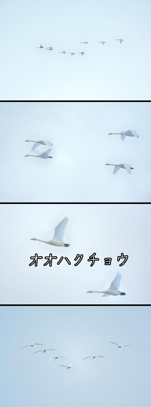 オオハクチョウ(大白鳥)