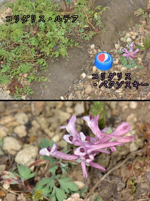 コリダリス・パクゾスキー(ケシ科 Corydalis paczoski)