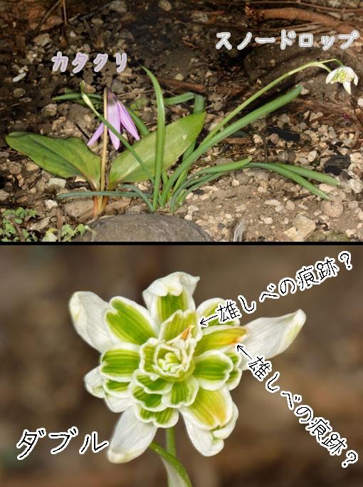 スノードロップ(ガランサス:ユリ科 Galanthus nivalis f. pleniflorus 'Flore Pleno')