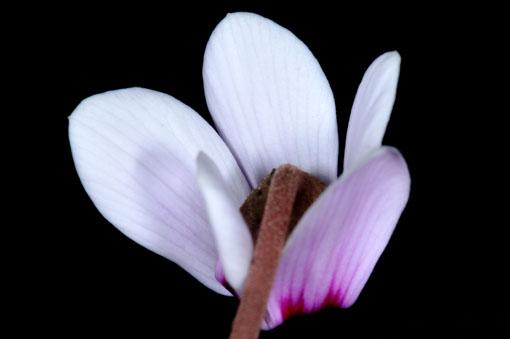 花弁がちょっとショートカットになってます。