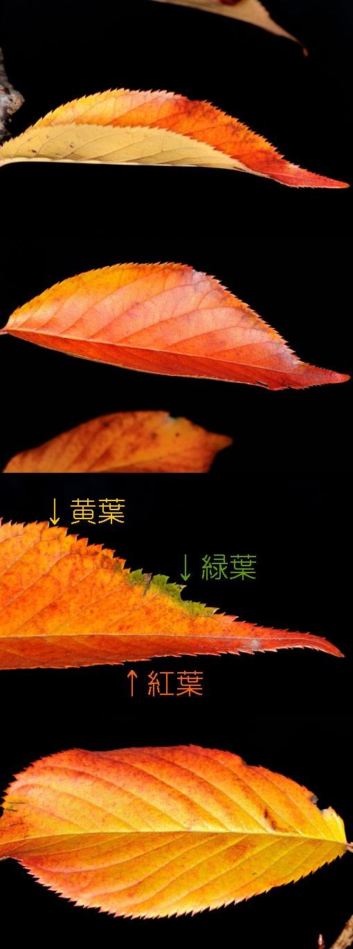 秋葉のグラデーションです。