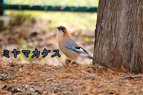 ミヤマカケス(深山懸巣)