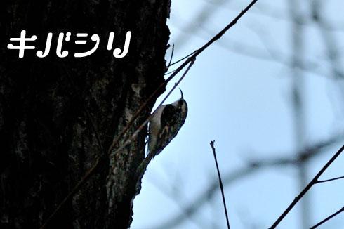 キバシリ(木走)