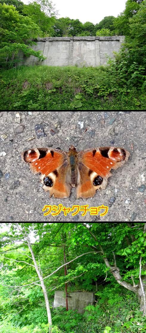 今回のクジャクチョウは四ツ目で撮れたです。