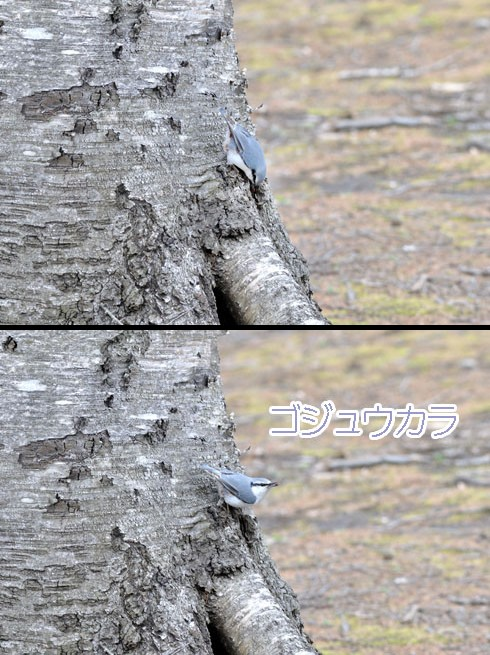 ゴジュウカラ(五十雀)