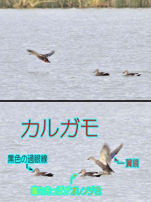 カルガモ(軽鴨:カモ科)