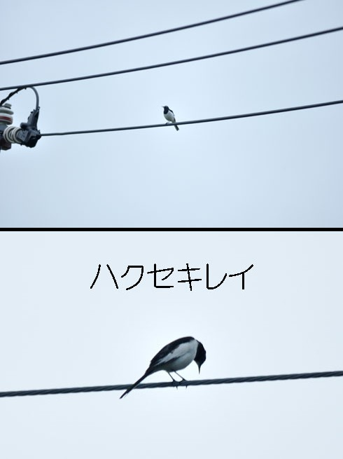 ハクセキレイ(白鶺鴒)