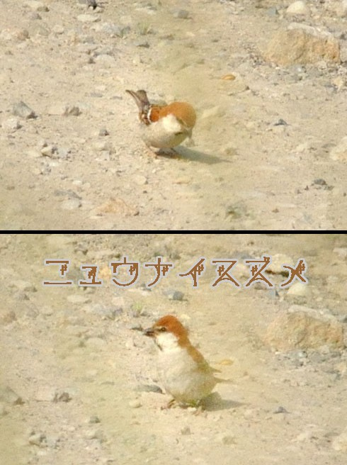 ニュウナイスズメ(入内雀)