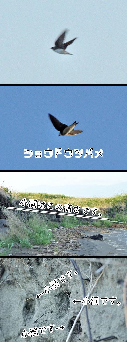 ショウドウツバメ(小洞燕)