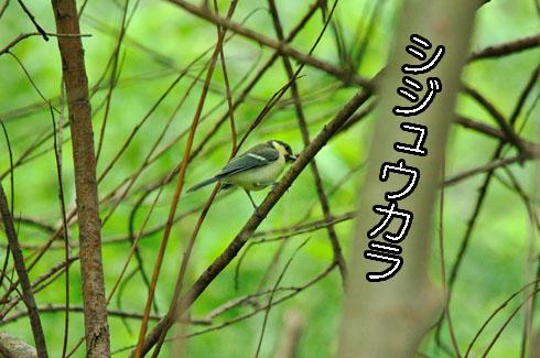 シジュウカラ(四十雀)