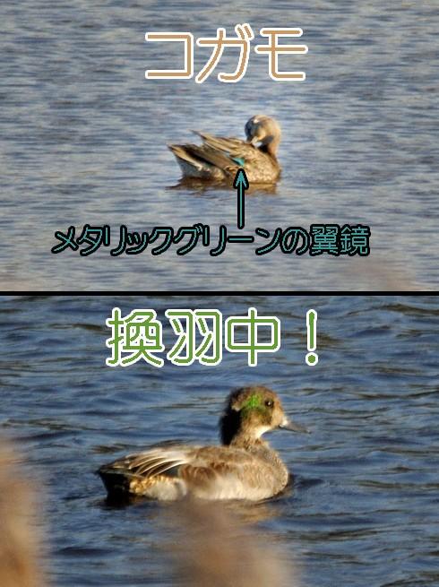 コガモ(小鴨)