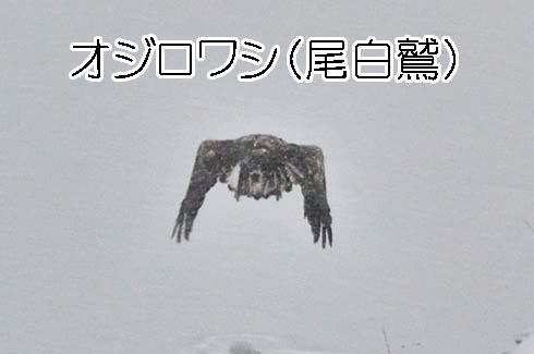 オジロワシ(尾白鷲:タカ科)