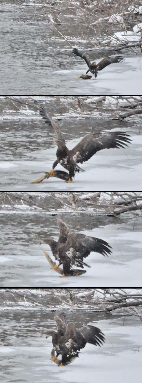 鮭の反撃(?_?)