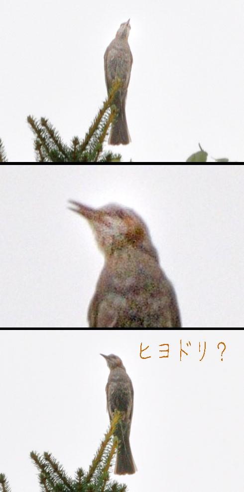 ヒヨドリです。オソラク