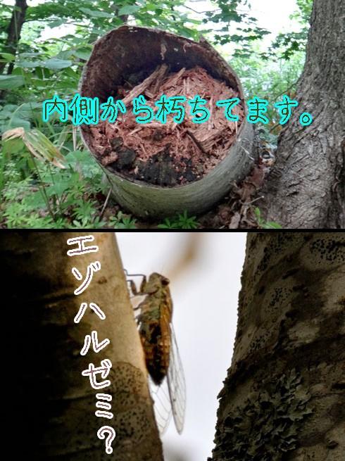 エゾハルゼミ(蝦夷春蝉)