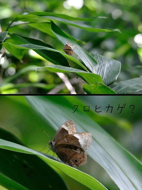 クロヒカゲ(黒日陰)