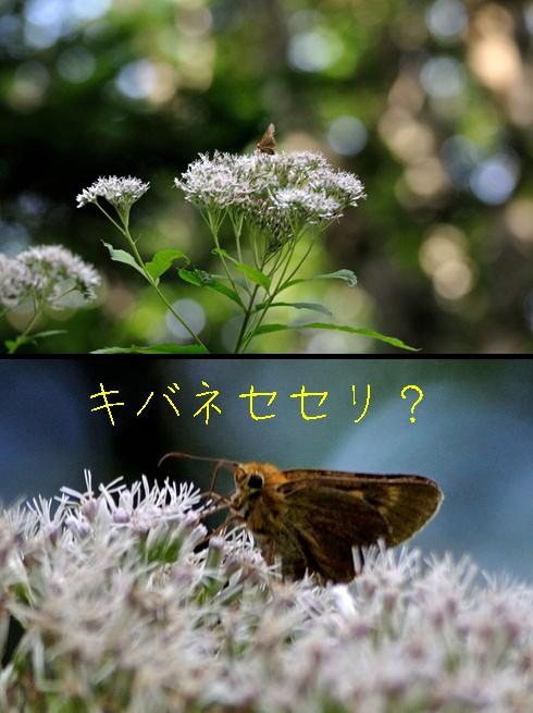 キバネセセリ(黄羽挵)