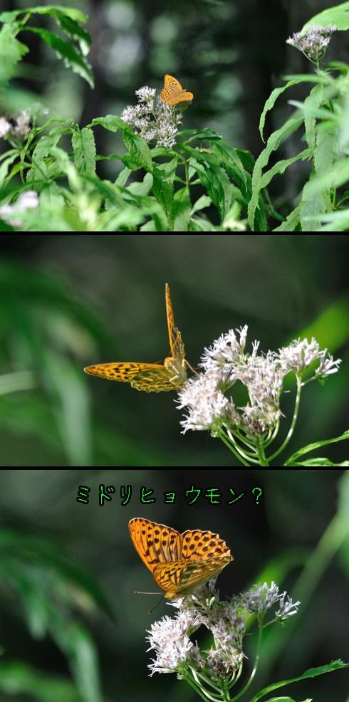 ミドリヒョウモン(緑豹紋)