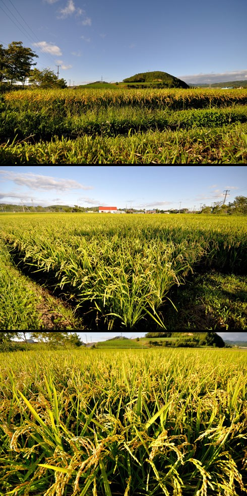 お米は豊作のよーです。