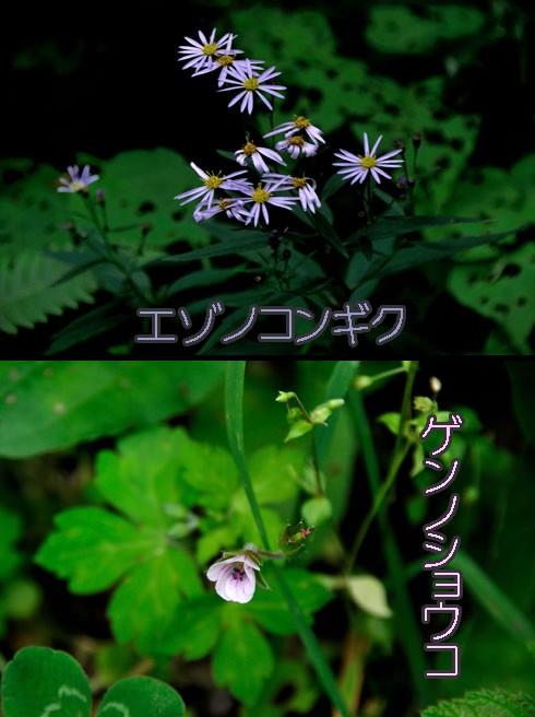 エゾノコンギク(蝦夷野紺菊)とゲンノショウコ(現の証拠)