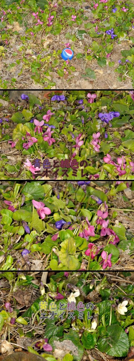ニオイスミレ(匂菫:スミレ科 Viola odorata)