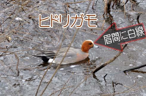 ヒドリガモ(緋鳥鴨)