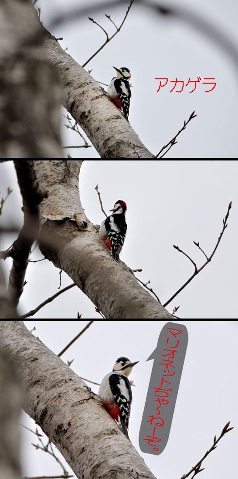 アカゲラ(赤啄木鳥)