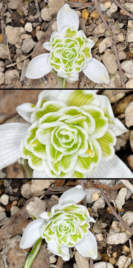 Galanthus nivalis f. pleniflorus 'Flore Pleno'