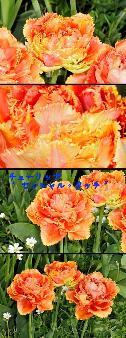 Tulipa ' Sensual Touch '