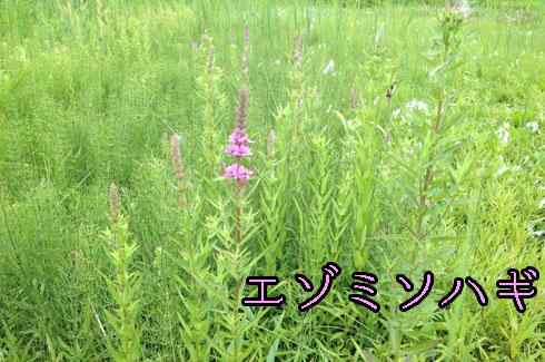 エゾミソハギ(蝦夷禊萩)