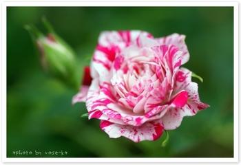 mini-rose②.jpg